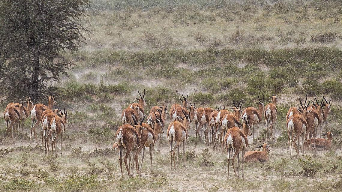 csm_springbucks_enjoying_rain_in_nossob_valley_kgalagadi_48cf4b9a55