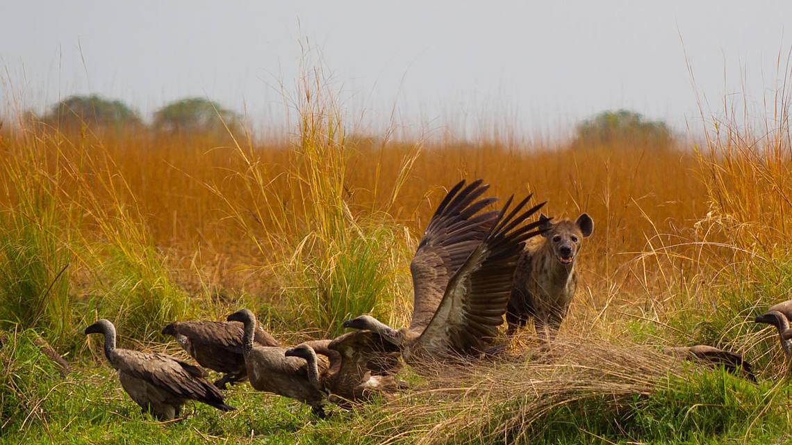 csm_wildebeest_kill_luiwa_plains_zambia_4b145bcfd6