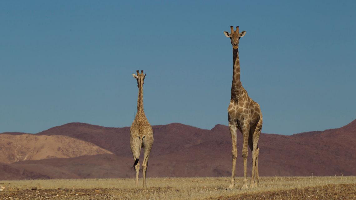 Giraffe-in-Damaraland