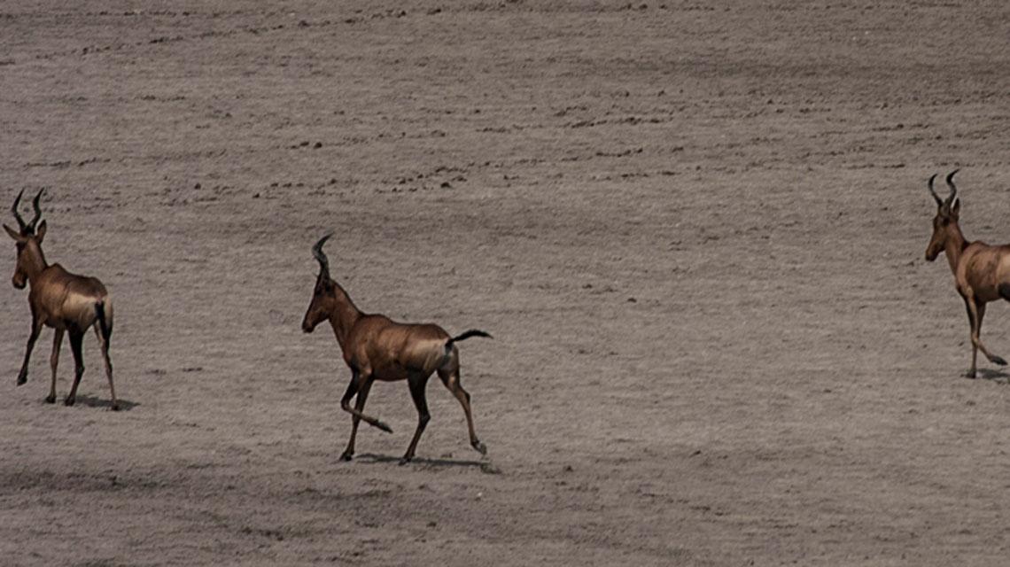 Hartebeest,-Kalahari