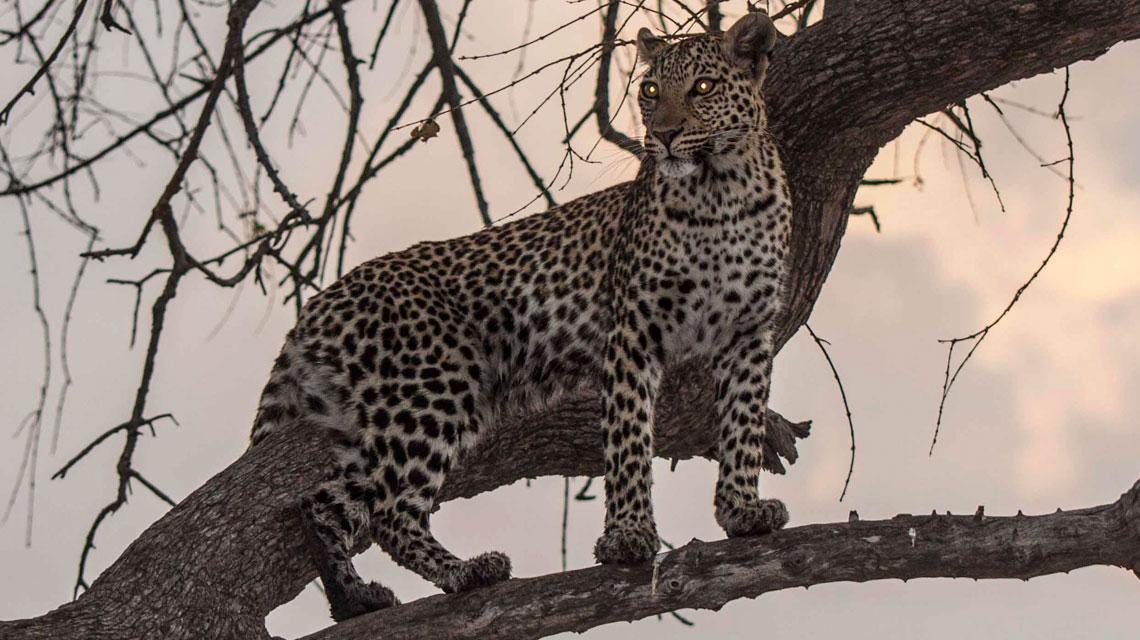 Leopard-in-Savuti