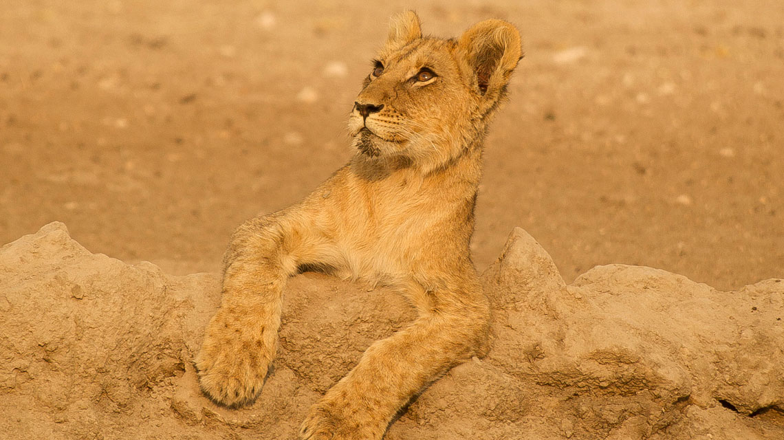 Lion-at-Passarge-Pan-CKGR