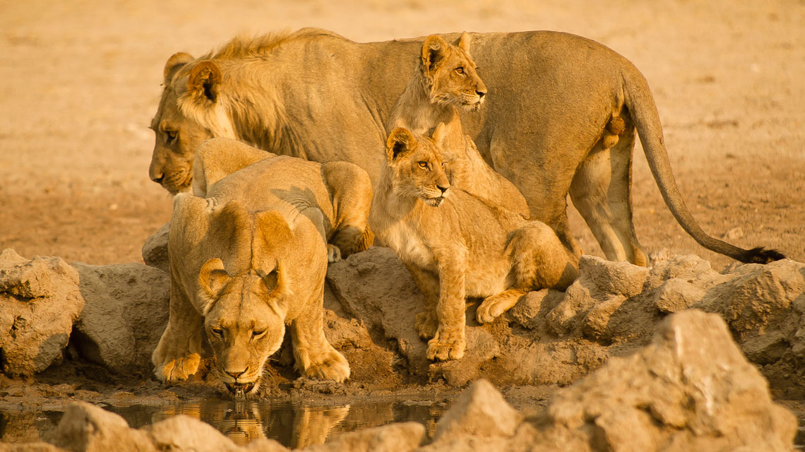 Lions-at-Passarge-Pan,-CKGR