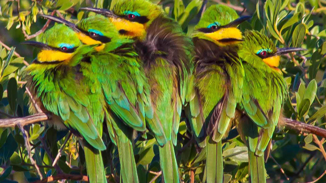 Little-beeeaters