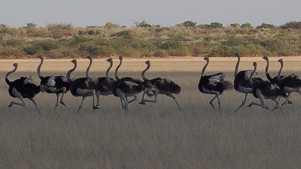 Ostrich,-Kalahari