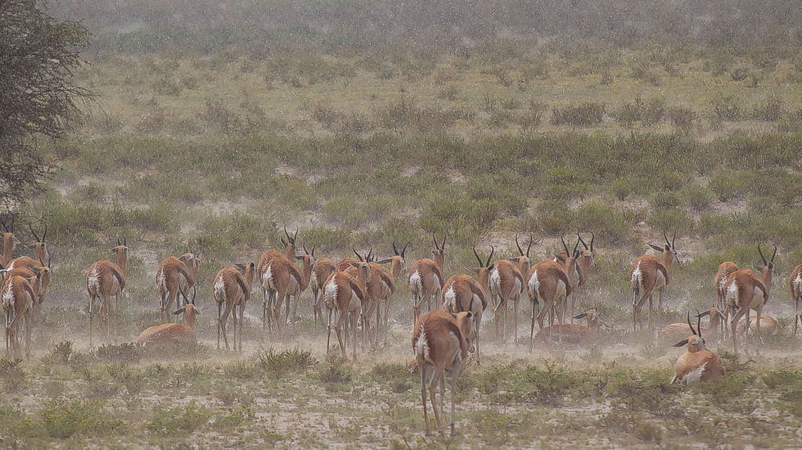 Springbok-caught-in-rain,-Transfrontier