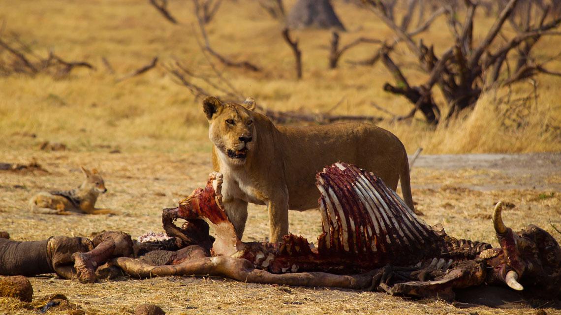 lion-on-elephant-kill