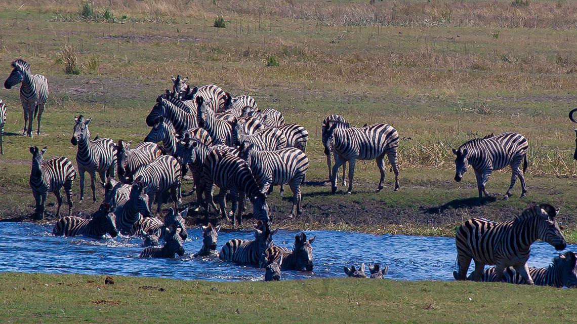 zebra-crossing-Chobe